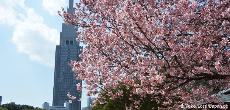 [Hanami] Kirschblüten im Shinjuku Gyoen