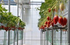 Yamanashi Erdbeeren