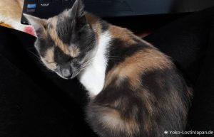 Katze Miko