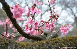 Kirschblüte Koganei Park