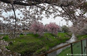 Kirschblüte Sagamihara