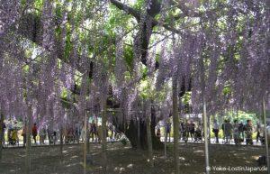 Bustour Ashikaga Flower Park