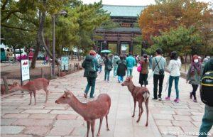 Nara - Rehe
