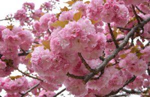Kirschblüte Kofu