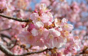 Kirschblüte Matsuda