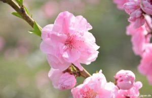 Kirschblüte Sakai Fluss