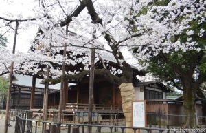 Kirschblüte Yasukuni Schrein